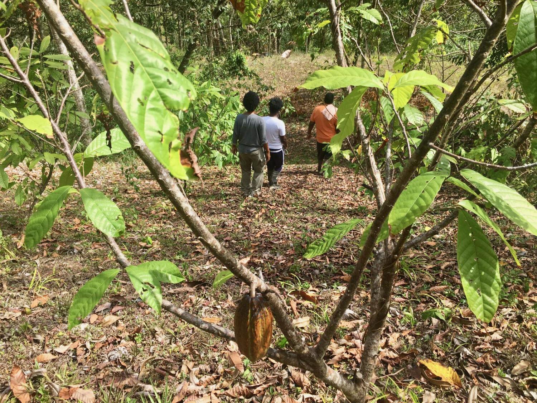 Die Kakaoplantation von Asthon Mills in Trinidad, feinster Trinitario